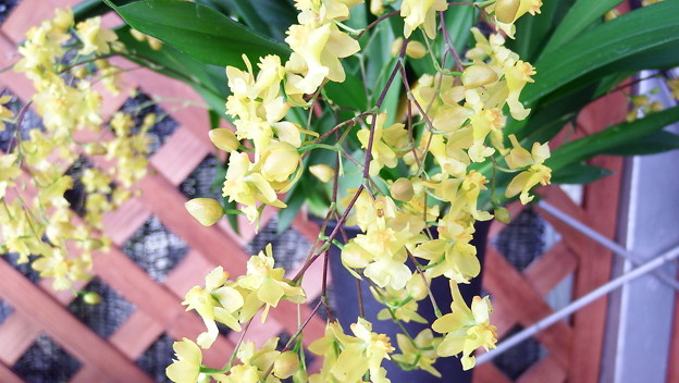 Onc,Twinkle Yellow Days