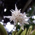 写真: Bulb.laxiflorum majus