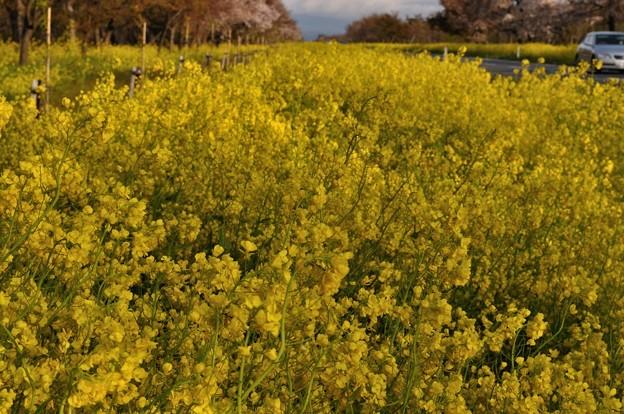菜の花が咲く大潟村 27