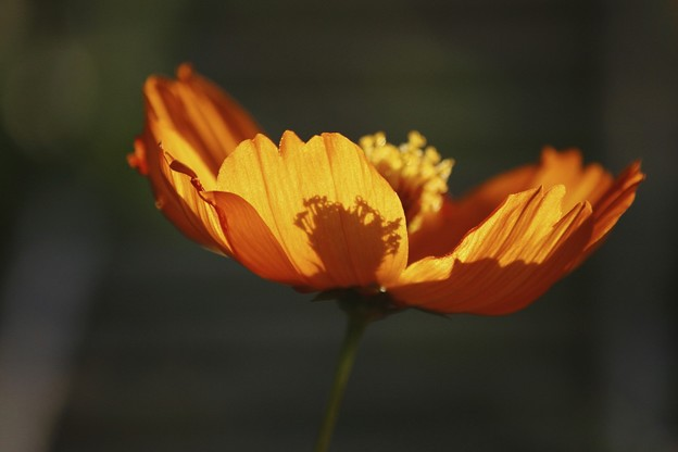 花ランプ~キバナコスモス♪