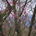 Photos: ポツポツと、梅が咲き始めました~♪
