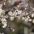 Photos: 南高梅の花~みなべ梅林♪