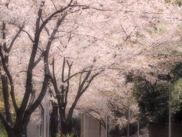 桜吹雪が目に入らぬか~