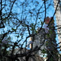 Photos: 枝垂れ桜咲いて来た