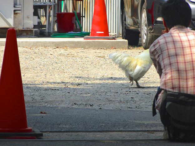 真清田神社の境内に、野生のニワトリ!?