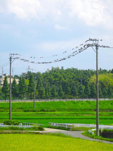 電線を占拠する、沢山の鳩 - 01