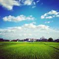 写真: 夏らしい青空と雲、たわわに実った田んぼの稲 - 4