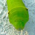 写真: 道端を歩いていた青虫 - 06