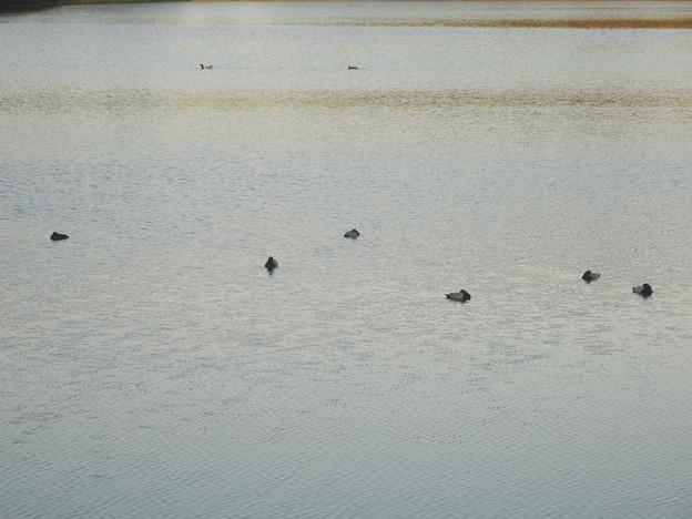 初秋の小幡緑地 No - 23:池の上で眠るカモ