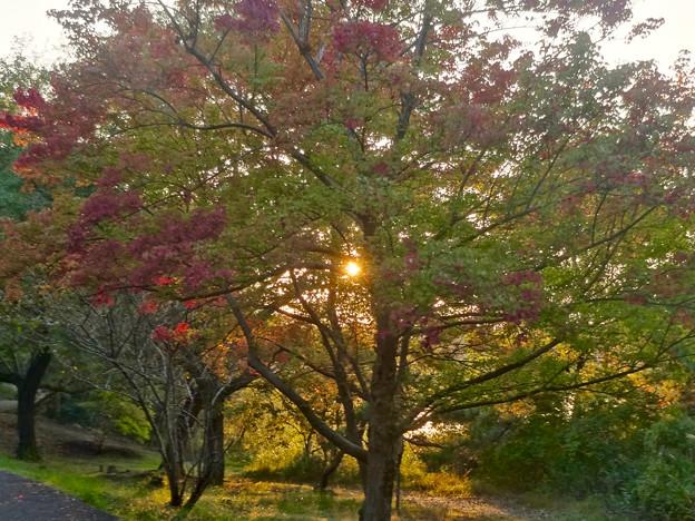 初秋の小幡緑地 No - 33:紅葉した並木越しに見た夕日