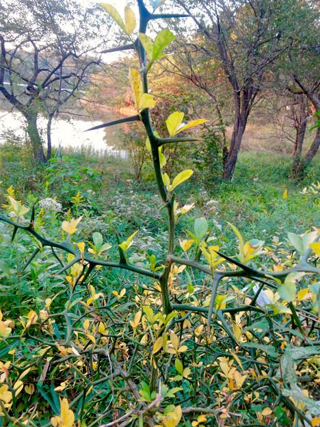 初秋の小幡緑地 No - 41:固くて鋭い棘(とげ)が沢山生えてる植物