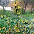 Photos: 初秋の小幡緑地 No - 41:固くて鋭い棘(とげ)が沢山生えてる植物