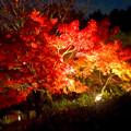 写真: 白鳥庭園「紅葉ライトアップ 2015」No - 94