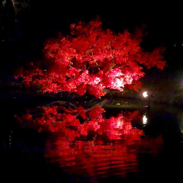 写真: 白鳥庭園「紅葉ライトアップ 2015」No - 117:池に反射する真っ赤なモミジ