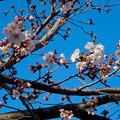 写真: 東山動植物園の桜(2016年3月26日) - 13