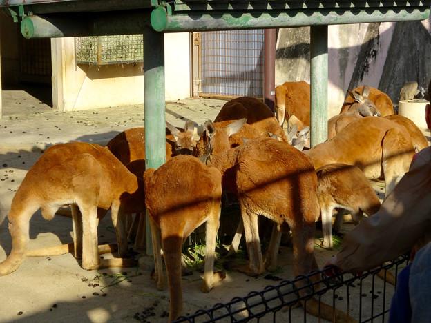 東山動植物園:餌の干し草(?)に群がるアカカンガルー