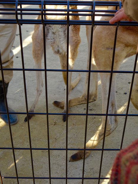 東山動植物園:大好物(?)の生サツマイモに釣られて直立するアカカンガルー - 4
