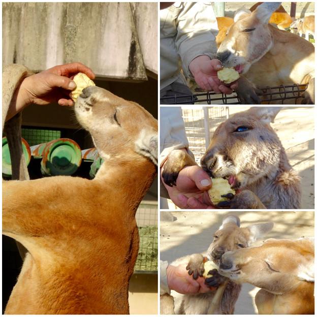 東山動植物園:大好物(?)の生サツマイモを美味しそうに食べるアカカンガルー - 5