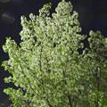 写真: すでに葉桜となっていた、色が白い「オオシマザクラ」(2016年4月8日) - 1