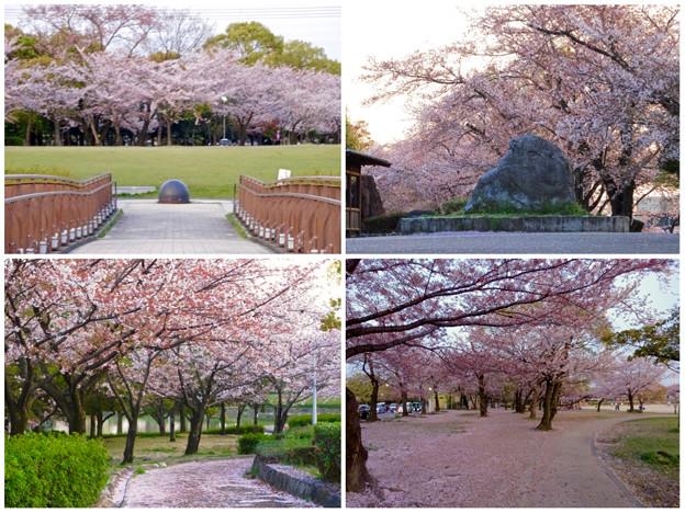 写真: 満開を過ぎ、散り始めた、落合公園の桜(2016年4月8日) - 34