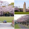 写真: 満開を過ぎ、散り始めた、落合公園の桜(2016年4月8日) - 36