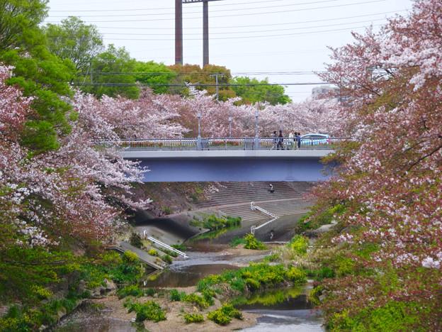山崎川の桜並木(2016年4月10日) - 19