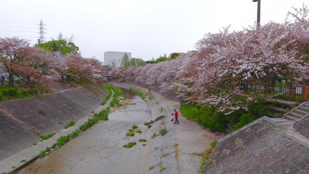 山崎川の桜並木(2016年4月10日) - 29