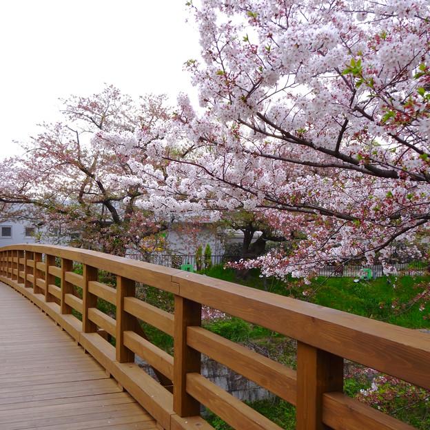 山崎川の桜並木(2016年4月10日) - 68