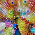 写真: 東山動植物園:艶やかな羽を広げる、オスのインドクジャク - 25(フィルター)