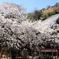 大宝寺の乳母桜