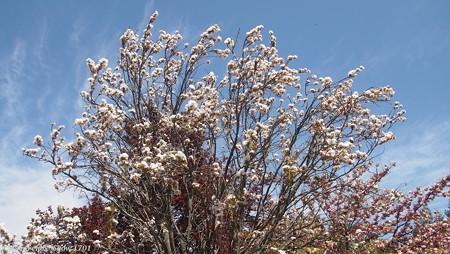 八重桜 天の川