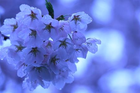 雨に打たれる桜
