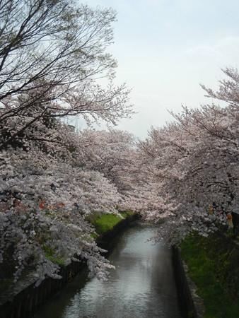 切敷川の桜