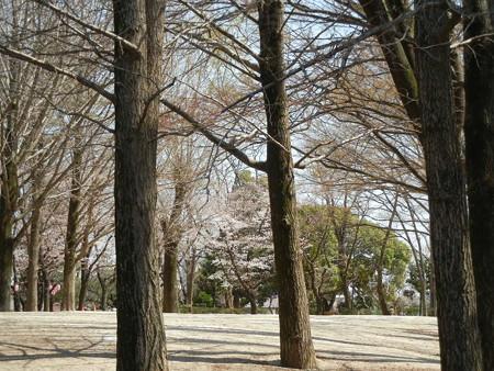 与野公園の桜