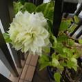 白クレマチス開花