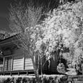 Photos: 境内桜(赤外)