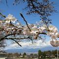 桜満開15