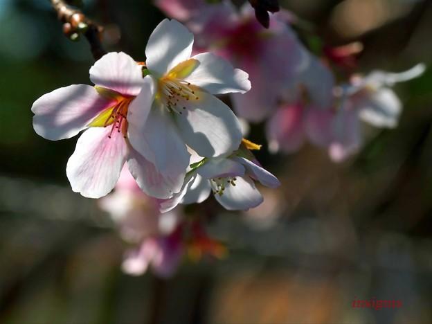 四季桜.......