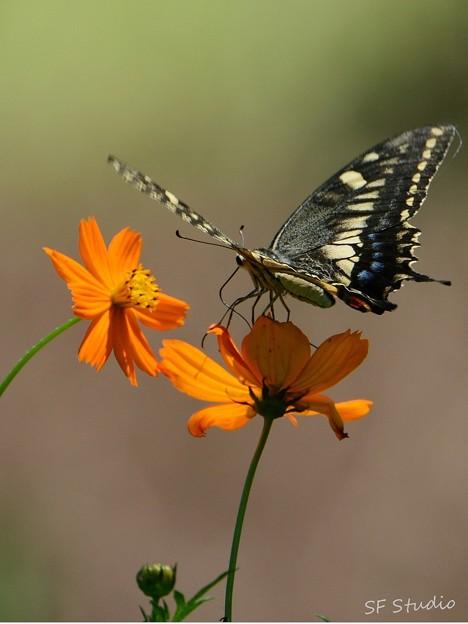 写真: 黄花に蝶