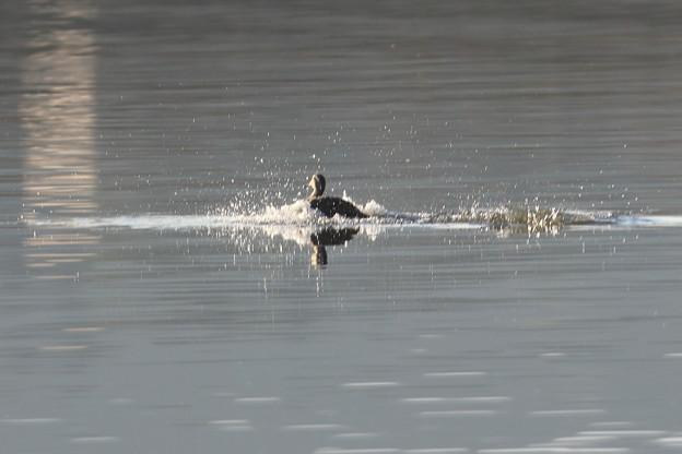 湖面に着水