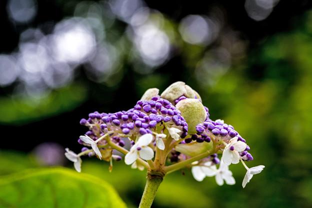 玉紫陽花 たまあじさい