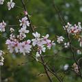 十月桜109c
