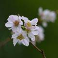 十月桜132sc