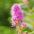 ピンクの可憐な花