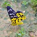 蝶であってほしい