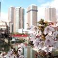 佃公園・桜・咲き始め