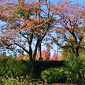 Photos: 桜と楓