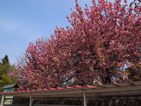 磐梯町の桜01