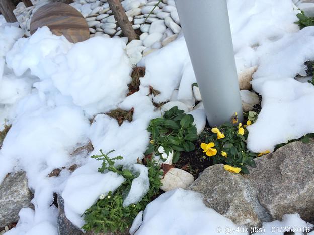 写真: 大雪に耐えたけど疲れた花を見つめることができて ~One two two