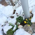 Photos: 大雪に耐えたけど疲れた花を見つめることができて ~One two two